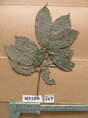 (Necepsia - WH213a_267)  @11 [ ] CreativeCommons - Attribution Non-Commercial Share-Alike (2013) Unspecified Herbarium de l'Université Libre de Bruxelles