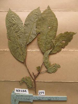 (Thecacoris - WH213a_279)  @11 [ ] CreativeCommons - Attribution Non-Commercial Share-Alike (2013) Unspecified Herbarium de l'Université Libre de Bruxelles