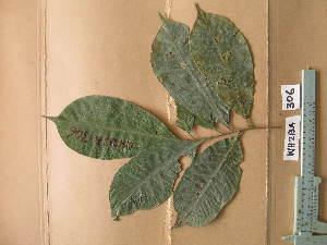(Apodiscus - WH213a_306)  @11 [ ] CreativeCommons - Attribution Non-Commercial Share-Alike (2013) Unspecified Herbarium de l'Université Libre de Bruxelles