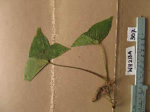 (Nephthytis - WH213a_307)  @11 [ ] CreativeCommons - Attribution Non-Commercial Share-Alike (2013) Unspecified Herbarium de l'Université Libre de Bruxelles