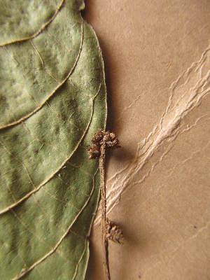 (Crotonogyne - WH213a_343)  @11 [ ] CreativeCommons - Attribution Non-Commercial Share-Alike (2013) Unspecified Herbarium de l'Université Libre de Bruxelles