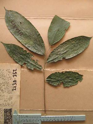 (Chrysobalanaceae - WH213a_352)  @11 [ ] CreativeCommons - Attribution Non-Commercial Share-Alike (2013) Unspecified Herbarium de l'Université Libre de Bruxelles