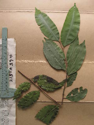 (Chrysophyllum pruniforme - WH213a_394)  @11 [ ] CreativeCommons - Attribution Non-Commercial Share-Alike (2013) Unspecified Herbarium de l'Université Libre de Bruxelles