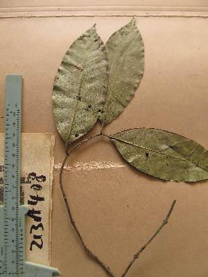 (Pleiocarpa - WH213a_408)  @11 [ ] CreativeCommons - Attribution Non-Commercial Share-Alike (2013) Unspecified Herbarium de l'Université Libre de Bruxelles