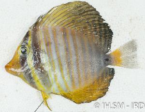 (Zebrasoma sp_1HJ - S0001_007)  @11 [ ] CreativeCommons - Attribution Non-Commercial Share-Alike (2017) Henitsoa Jaonalison IH.SM, Toliara, Madagascar