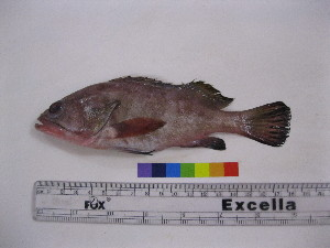 (Epinephelus diacanthus - NF536)  @14 [ ] Unspecified (default): All Rights Reserved  Unspecified Unspecified