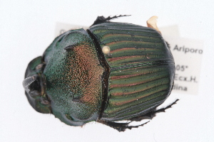 (Sulcophanaeus leander - IAvH-E-151442)  @11 [ ] CreativeCommons - Attribution Non-Commercial (2015) Instituto Humboldt IAvH Instituto de Investigacion de Recursos Biologicos Alexander von Humboldt