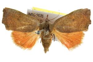 (Hyblaeidae - IM10-0076)  @15 [ ] CreativeCommons - Attribution Non-Commercial Share-Alike (2011) BIO Photography Group Biodiversity Institute of Ontario