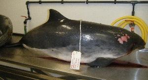 (Cetacea - pp150909)  @13 [ ] Copyright (2009) Brittany Stranding Network Oceanopolis