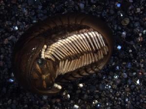 (Zephronidae - INDOBIOSYS-CCDB26210-G10)  @11 [ ] CreativeCommons - Attribution Non-Commercial Share-Alike (2016) SNSB, Staatliche Naturwissenschaftliche Sammlungen Bayerns ZSM (SNSB, Zoologische Staatssammlung Muenchen)