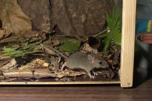 (Rattus exulans - INDOBIOSYS-CCDB25346-G04)  @11 [ ] by-nc-sa (2016) SNSB, Staatliche Naturwissenschaftliche Sammlungen Bayerns ZSM (SNSB, Zoologische Staatssammlung Muenchen)