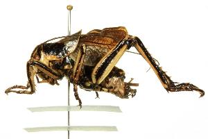 (Propphalangopsidae - BIOUG02793-B01)  @14 [ ] CreativeCommons - Attribution Non-Commercial Share-Alike (2012) BIO Photography Group Biodiversity Institute of Ontario