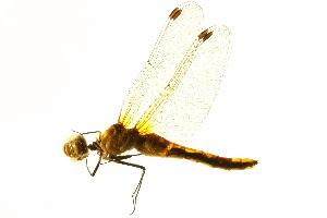 (Sympetrum obtrusum - BIOUG02813-E08)  @13 [ ] CreativeCommons - Attribution Non-Commercial Share-Alike (2012) BIO Photography Group Biodiversity Institute of Ontario