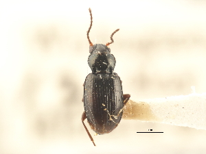 (Bembidion acutifrons - BIOUG09879-B05)  @11 [ ] CreativeCommons - Attribution Non-Commercial Share-Alike (2014) BIO Photography Group Biodiversity Institute of Ontario