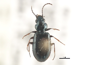 (Bembidion nebraskense - BIOUG09879-F03)  @13 [ ] CreativeCommons - Attribution Non-Commercial Share-Alike (2014) BIO Photography Group Biodiversity Institute of Ontario