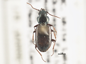 (Bembidion scudderi - BIOUG09879-G09)  @11 [ ] CreativeCommons - Attribution Non-Commercial Share-Alike (2014) CBG Photography Group Centre for Biodiversity Genomics