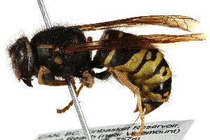 (Vespula atropilosa - CCDB-28551-H09)  @11 [ ] CreativeCommons - Attribution Non-Commercial Share-Alike (2015) BIO Photography Group Biodiversity Institute of Ontario