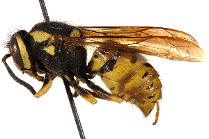 (Vespula atropilosa - CCDB-28551-H10)  @15 [ ] CreativeCommons - Attribution Non-Commercial Share-Alike (2015) BIO Photography Group Biodiversity Institute of Ontario