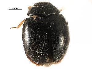 (Scymnus lacustris - CCDB-28921-C01)  @11 [ ] CreativeCommons - Attribution Non-Commercial Share-Alike (2015) CBG Photography Group Centre for Biodiversity Genomics