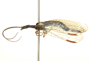 (Inocelliidae - BIOUG02794-B09)  @15 [ ] CreativeCommons - Attribution Non-Commercial Share-Alike (2012) BIO Photography Group Biodiversity Institute of Ontario