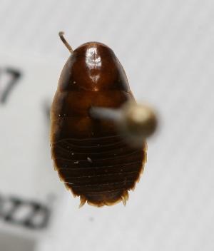 "(Panchlorinae - MACN-Bar-Ins-ct 00137)  @13 [ ] Copyright (2011) MACN Museo Argentino de Ciencias Naturales ""Bernardino Rivadavia"""