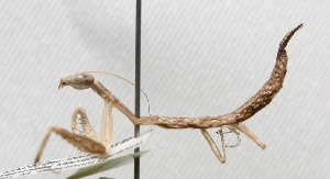 "(Photinainae - MACN-Bar-Ins-ct 00149)  @14 [ ] Copyright (2011) MACN Museo Argentino de Ciencias Naturales ""Bernardino Rivadavia"""