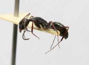 (Camponotus morosus - MACN-Bar-Ins-ct 00390)  @13 [ ] Copyright (2011) MACN Museo Argentino de Ciencias Naturales
