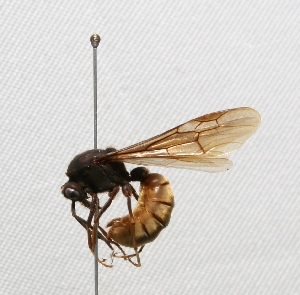 "(Eciton - MACN-Bar-Ins-ct 603)  @15 [ ] Copyright (2011) MACN Museo Argentino de Ciencias Naturales ""Bernardino Rivadavia"""