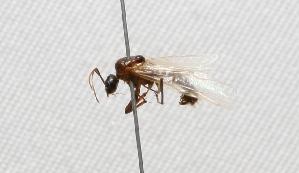 "(Camponotus (Camponotus - MACN-Bar-Ins-ct 634)  @12 [ ] Copyright (2011) MACN Museo Argentino de Ciencias Naturales ""Bernardino Rivadavia"""