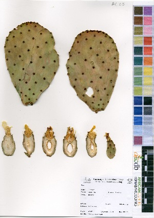 (Opuntia engelmannii - AC_0023)  @11 [ ] No Right Reserved  Unspecified Unspecified