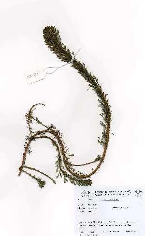 (Myriophyllum aquaticum - LTM88)  @11 [ ] CreativeCommons - Attribution Non-Commercial Share-Alike (2012) Mamadi Theresa Sethusa University of Johannesburg