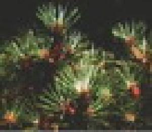 (Bignoniaceae - MND-0031)  @11 [ ] CreativeCommons - Attribution Non-Commercial Share-Alike (2012) Mamadi Theresa Sethusa University of Johannesburg