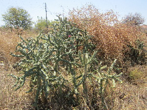 (Opuntia imbricata - PPRI-0061)  @11 [ ] CreativeCommons - Attribution Non-Commercial Share-Alike (2012) Mamadi Theresa Sethusa University of Johannesburg