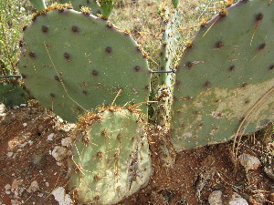 (Opuntia engelmannii var. lindheimeri - PPRI-0119)  @11 [ ] CreativeCommons - Attribution Non-Commercial Share-Alike (2012) Mamadi Theresa Sethusa University of Johannesburg