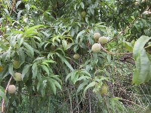 (Prunus persica - PPRI-0164)  @11 [ ] CreativeCommons - Attribution Non-Commercial Share-Alike (2012) Mamadi Theresa Sethusa University of Johannesburg