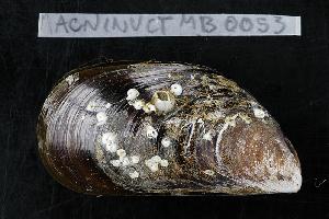 (Mytilus edulis platensis - MACNINVCTMB0053)  @14 [ ] CreativeCommons - Attribution Non-Commercial (2010) Guido Pastorino Museo Argentino de Ciencias Naturales, CABA Argentina