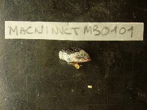 (Perumytilus - MACNINVCTMB0101)  @12 [ ] CreativeCommons - Attribution Non-Commercial (2010) Guido Pastorino Museo Argentino de Ciencias Naturales, CABA Argentina