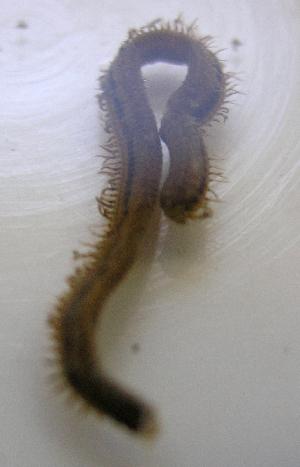 (Kinbergonuphis - UNMdP-ZINV-126)  @11 [ ] CreativeCommons – Attribution Non-Commercial Share-Alike (2014) Unspecified Laboratorio de Zoología de Invertebrados