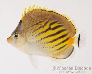 (Chaetodon pelewensis - MBIO0084)  @14 [ ] No Rights Reserved  Unspecified Unspecified