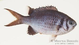 (Chromis xanthura - MBIO0945)  @11 [ ] No Rights Reserved  Unspecified Unspecified
