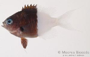 (Chromis iomelas - MBIO0095)  @13 [ ] No Rights Reserved  Unspecified Unspecified