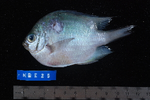 (Amblyglyphidodon indicus - NBE0025)  @13 [ ] No Rights Reserved  Unspecified Unspecified