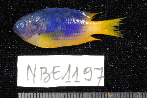 (Pomacentrus caeruleus - NBE1197)  @14 [ ] No Rights Reserved  Unspecified Unspecified