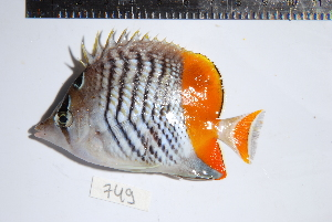 (Chaetodon xanthurus - REU0749)  @14 [ ] No Rights Reserved  Unspecified Unspecified