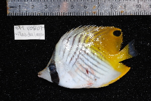 (Chaetodon auriga - REU301-1)  @14 [ ] No Rights Reserved  Unspecified Unspecified