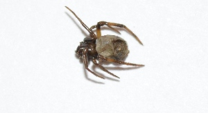 (Steatoda cingulata - PP12)  @12 [ ] Copyright (2013) Dr.G.D. Khedkar Paul Hebert Center for DNA Barcoding & Biodiversity Studies