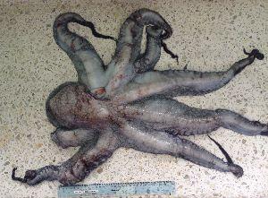 (Octopus mimus - ITPPL-049)  @11 [ ] copyright (2014) Pablo Londone Instituto Tecnologico de la Producción