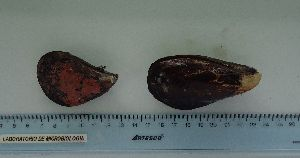(Mytilus chilensis - ITPPL-089)  @11 [ ] copyright (2014) Pablo Londone Instituto Tecnologico de la Producción