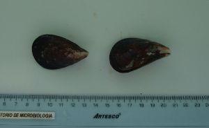 (Mytilus chilensis - ITPPL-091)  @11 [ ] Copyright (2014) Pablo Londone Instituto Tecnologico de la Producción