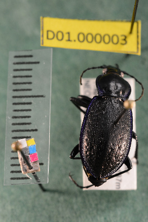 (Carabidae D01morph_A - D01.000003)  @12 [ ] Copyright (2013) Cory Ritz National Ecological Observatory Network (NEON) http://www.neoninc.org/content/copyright